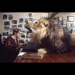 Noel Marshall tries to work in his study with a lion in his face. IMAGE: MICHAEL ROUGIER / TIME & LIFE PICTURES