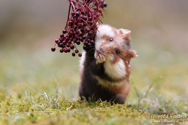 cute-hamsters-57__880