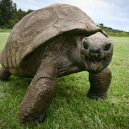 On the island of Saint Helena, Jonathan the giant tortoise roams a large plantation at the official home of the Governor of the British Overseas Territories in the South Atlantic. He may look like a normal tortoise, but there is one incredibly special thing about him...