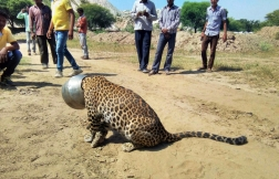 People stand around a leopard with its head stuck in a pot in Rajasthan, India. Forest officials tranquilized and freed the animal later that day.