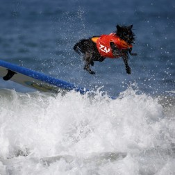 A dog wipes out during the Surf City Surf Dog Contest in Huntington Beach, California.