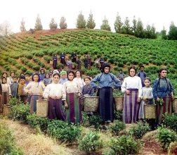 ca. 1907-1915 Workers, identified by Prokudin-Gorskii as Greeks, pose while harvesting tea from plants spreading over rolling hills near Chakva, on the east coast of the Black Sea. This region of the Russian Empire, in present day Ukraine, Moldova and Georgia, had a significant Greek minority. IMAGE: PROKUDIN-GORSKII / LIBRARY OF CONGRESS>